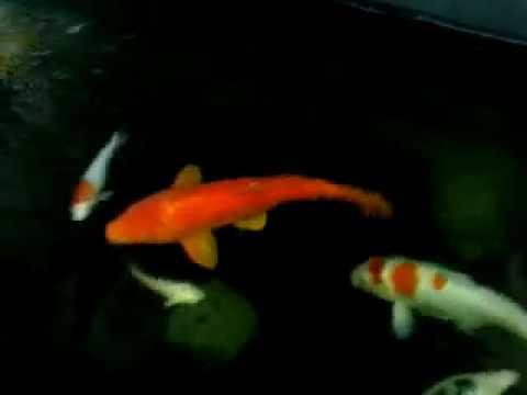Ikan koi di kolam kecil youtube for Koi youtube