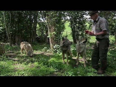 Falusi élet farkasokkal (Fehéroroszország)