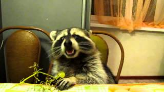 Raccoon Eating Grapes at the Dinner Table