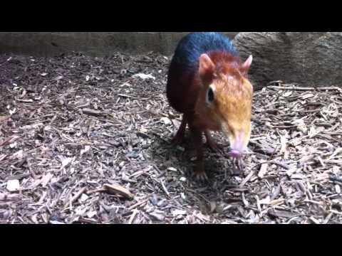 elephant shrew washington dc zoo
