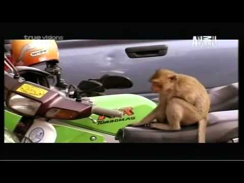 Thế giới động vật ( Loài khỉ )  Chuyện Romeo and Juliet