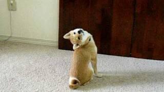Adorable puppy - Shiba Inu Scout the Bat!
