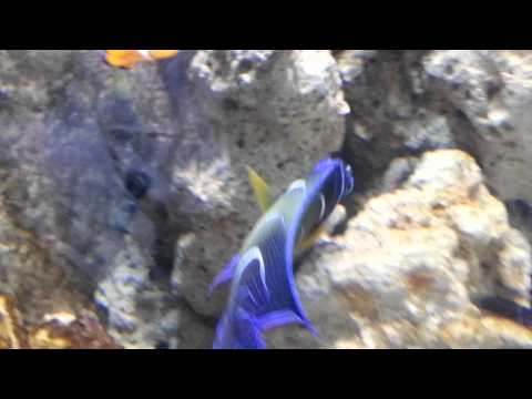 Koran Angel Fish at Dubai Mall Underwater Zoo