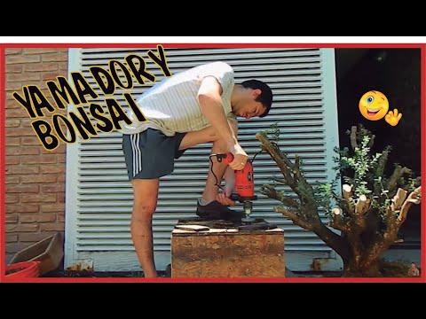 #03 - Recolección (yamadori) Buxus - Cómo recuperar un árbol de la naturaleza para hacerlo Bonsai