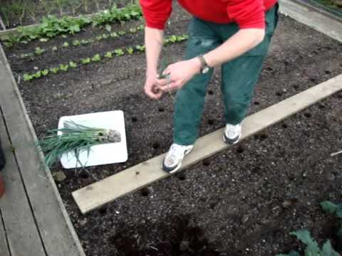 Allotment Diary : Growing Vegetables  How to Grow / Transplant Leeks.