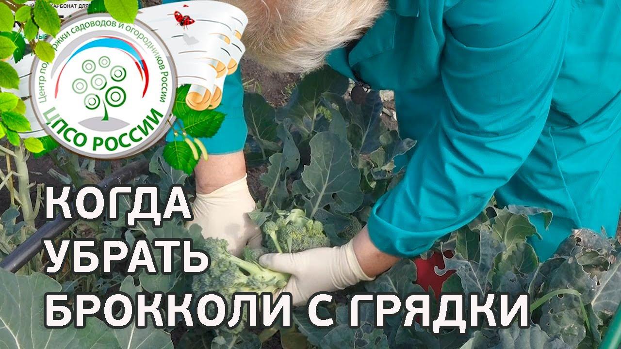 термобелье агротехника выращивания капусты брокколи для