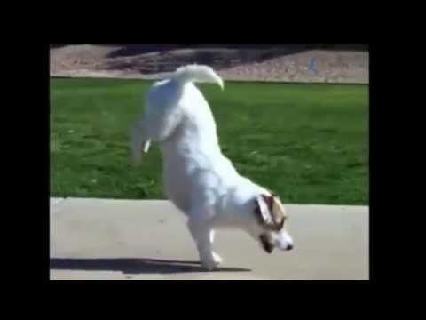 Chú chó nhảy hiphop thông minh nhất thế giới 2014