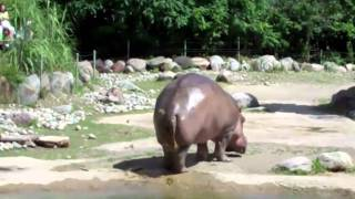 World's Biggest Fart by The Hippo