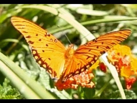 Dance of the Butterflies: Slow Motion Gulf Fritillaries 720p HD Upscaled Casio EX-F1, Enjoy some very close-up slow motion footage of these amazing orange, black and silver butterflies, as they visit the flowers of Lantana bushes. This footage...