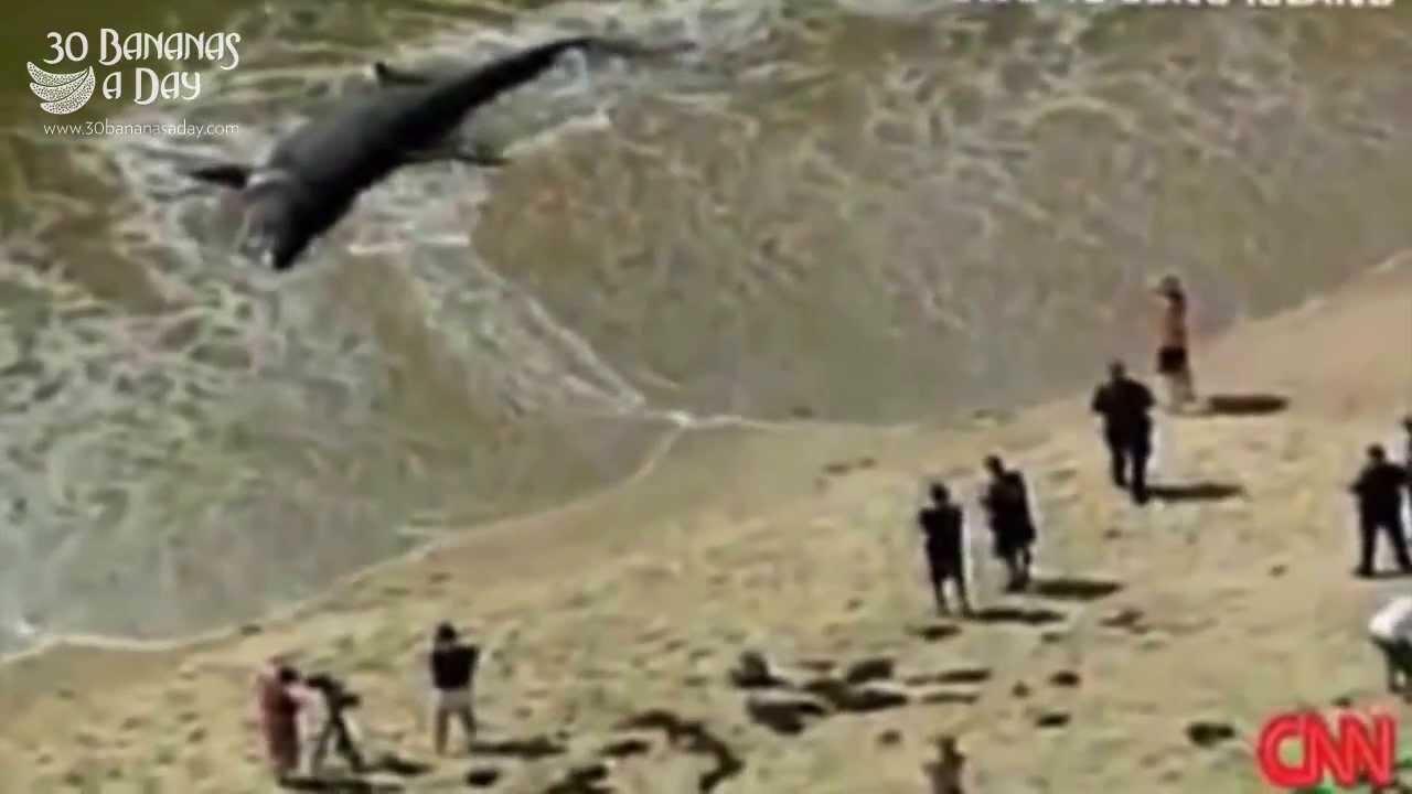Giant Megalodon Shark Washed Ashore Australian Beach. Real or Fake