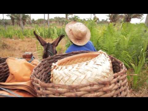 Babaçu: floresta de vida