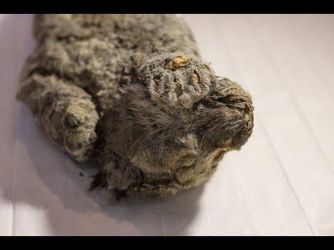 西伯利亚发现3只冰冻万年狮子尸体 早已灭绝(视)