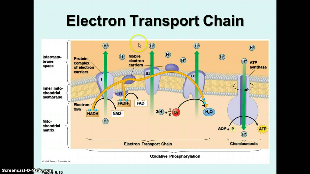 Cardiac Cycle together with Watch as well Confusion About Location Of Malate Aspartate Shuttle further BIO 20Notes 20F 20Respiratioin furthermore Cellular Respiration 7359048. on diagram of electron transport chain