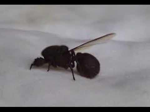 Numero ants