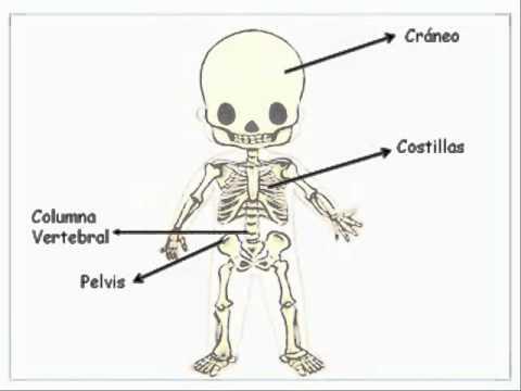 Imagenes infantiles del sistema esqueletico - Imagui