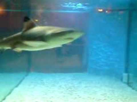 Baby shark in fish tank youtube for Shark fish tank
