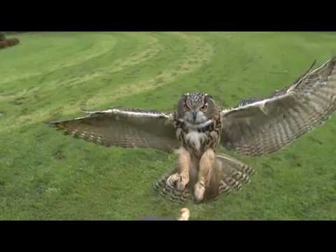 Stupid Owl in Slow Motion Flight and Landing - Needs to be taught to be better?