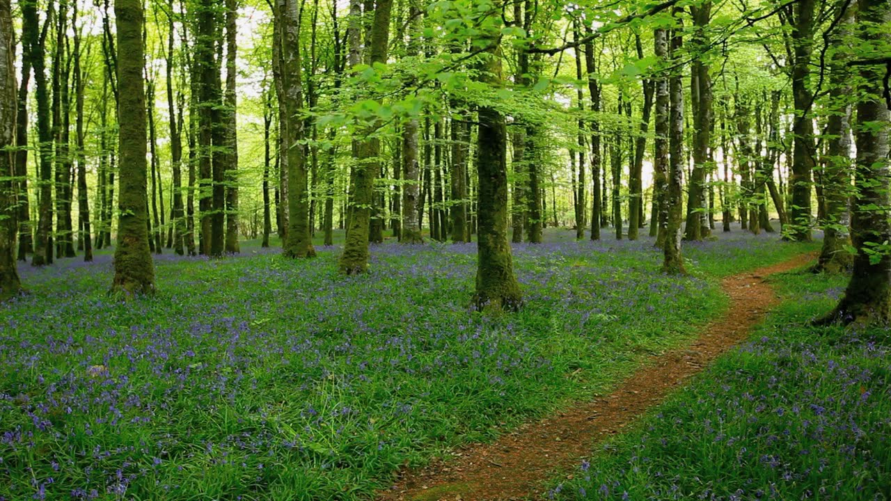 Relax in a tranquil bluebell wood w o music sounds of nature bird song