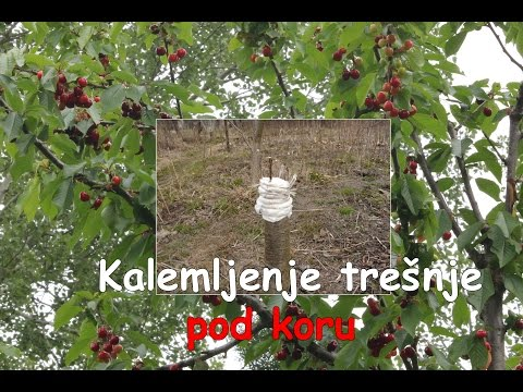 Kalemljenje tresnje pod koru  (Bark grafting cherry) FULL HD