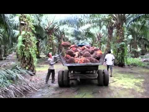 Sustainable Palm Oil Farming