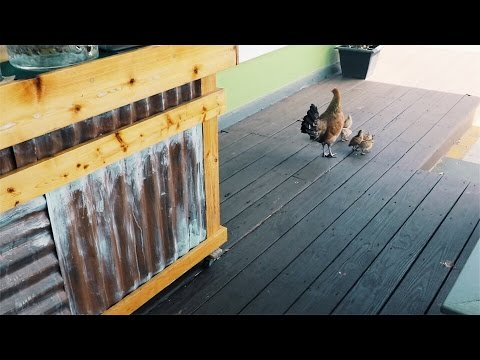 They WARNED Me About These Wild Chickens