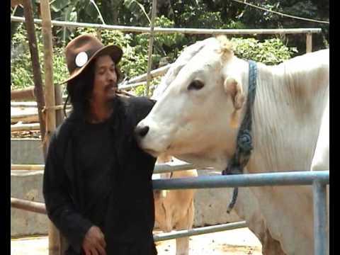 Peternakan sapi Cupumanik Sumedang 2