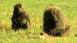 Graphic content warning: Baboon eating gazelle alive view on youtube.com tube online.