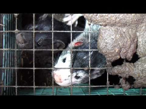 Virkeligheden på danske pelsfarme on YouTube