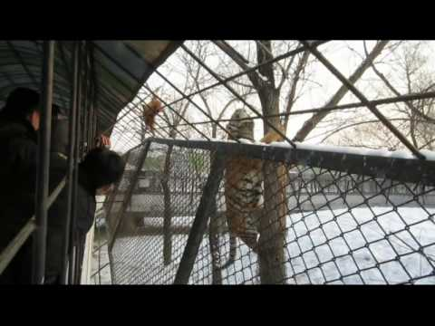 Harbin, China - Siberian Tiger Park - Tiger tries to get Live Chicken.avi
