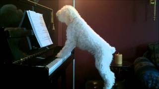 Tucker the Dog Plays Piano and Sings