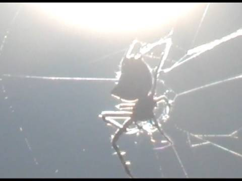 Amazing Spider Tears Down its Spider Web Crab Spider Sun Spider