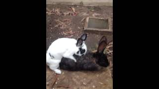 [Rabbit Mating Fail]