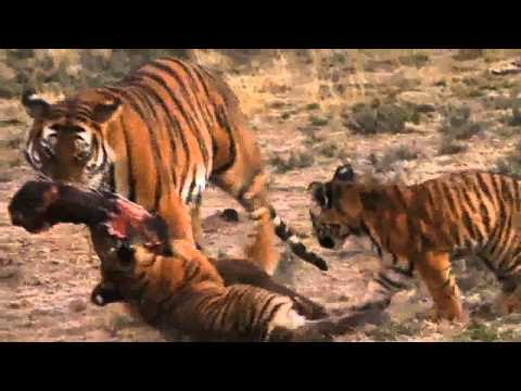 Lion vs Tiger: Award Winning Doentary 2011: Last Chance Tiger, This is the fantastic award winning doentary showing one of the few remaing wild South China tigers concentration in the world. Preview of the doentary...