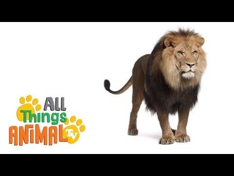 LIONS: Animal videos for children and kids. Preschool| Kindergarten learning.