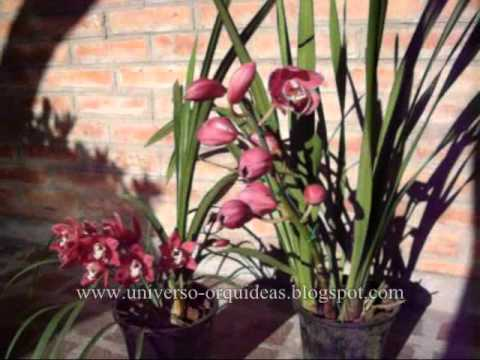 Orqu deas video cultivo cymbidium youtube - Orquidea cymbidium cuidados ...