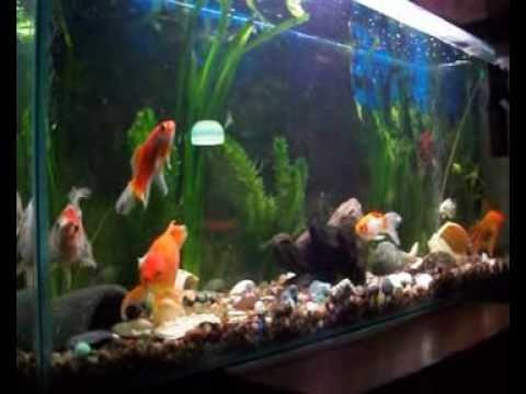 mi acuario de peces de agua fria youtube