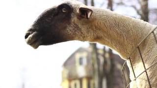 Animals - Goats Yelling Like Humans