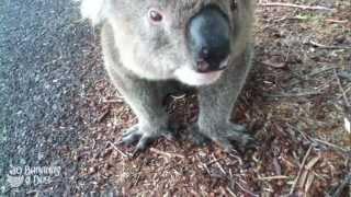 野良コアラに水をあげる