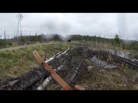 在猎人拉弓瞄准时,大黑熊扑了过来(图/视频)