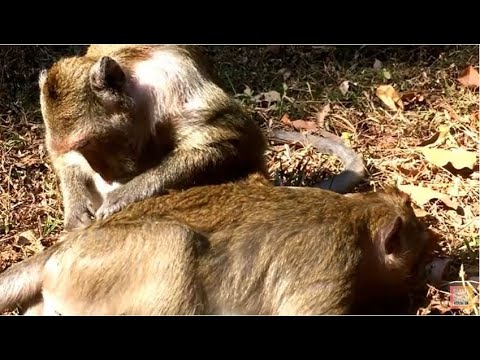 Funny monkey groomed,monkey grooming ,sweet monkey grooming,