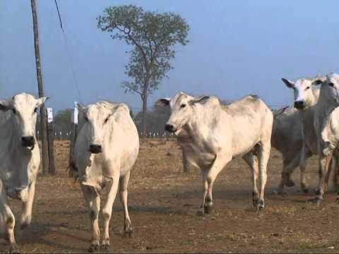 vacas nelore PO
