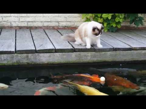 Cat & Koi playing with Ping Pong ball