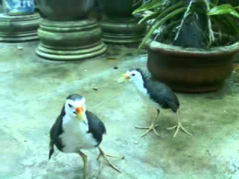 Chim Quốc Chiến (Cuốc) Điện Thoại: 0962875007 - 0933739107: Trần Công Kiên - Thăng Bình - Quảng Nam