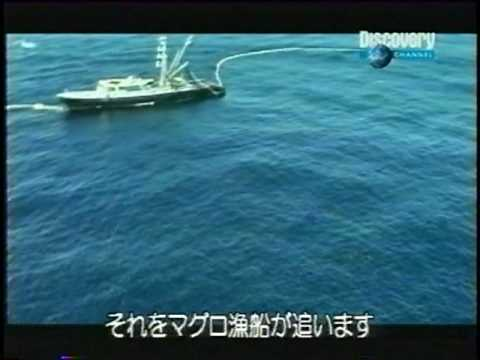 American tuna boat kills many dolphins