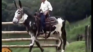 Burro Mamut - Burro Gigante