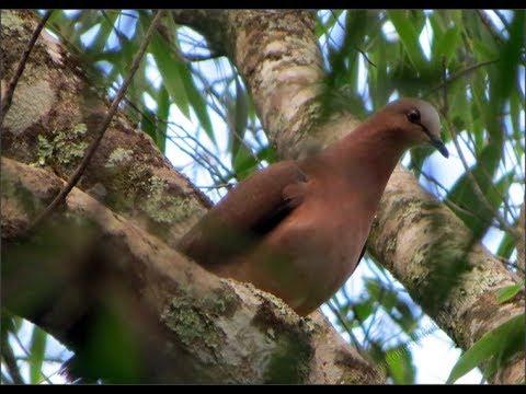 Ouça o Canto do Pássaro Juriti Tipo Garrafa