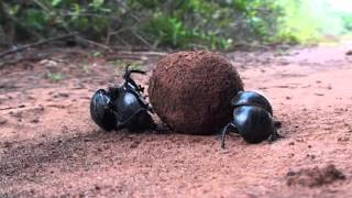 Ze Frank: True Facts About The Dung Beetle