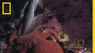 Octopus Kills Shark