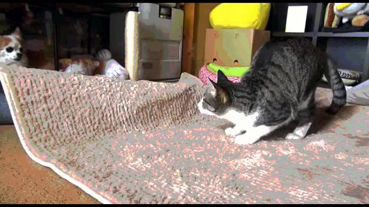 Wiggle Gif Cat Compilation