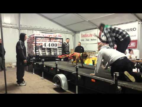 Weight pulling Amstaff Beny 4300 kg